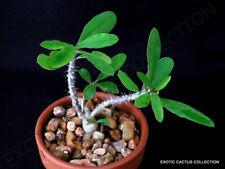 RARE EUPHORBIA MILLII V TENUISPINA @ exotic color madagascar bonsai seed 5 seeds