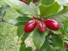 Miracle Berry Fruit Trees - 3 Feet Tall - Lot Of Flowers/Fruits