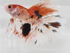 Orange and Black Multicolor Halfmoon Koi Betta Fish PAIR Import Male and Female