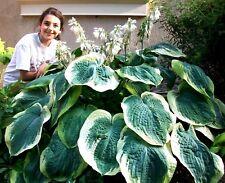 HUGE HOSTA MIX Hardy Perennial Garden Shade Sun Large Giant, 40 Seeds