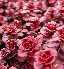 50 RED DRAGONS BLOOD SEDUM Stonecrop Flower Seeds +Gift