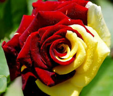 35 SEMILLAS ROSA YELLOW-RED ROSE SEEDS  + TRIBUTO...