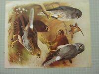 Bellissima Thornburn Uccello Stampa Montagus Harrier Marsh Harrier