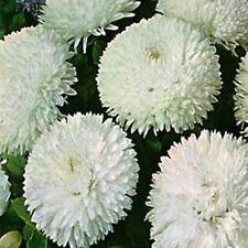 Bellis- White- 100 Seeds - - Bogo 50% off Sale