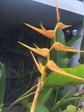 Rare Heliconia latispatha Orange Gyro Rhizome tropical plant flower