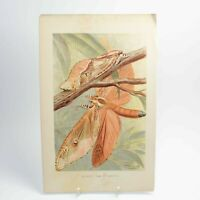 Giant Swift Moth natural history print antique lithograph 19th century colour