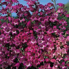 Penstemon x mexicali 'Miniature Bells'  / Hardy Prairie Plant / 50 Seeds