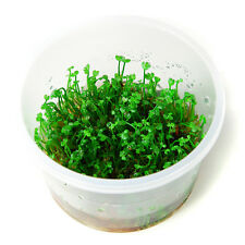 TROPICA 1-2 Grow in vitro Quadrifolia crenata zwergkleefarn simple paysages