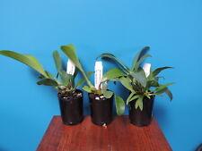 Orchid Dendrobium  speciosum  crosses  Pack 3