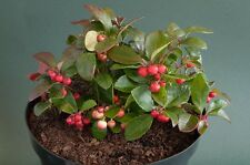 LIVE ground cover Gaultheria procumbens (wintergreen) broad leaf evergreen -39F