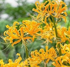 Yellow Sunrise Lycoris Bulbs- Radiata Spider Lily Flower 4 bulbs Plant Garden
