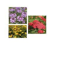 Drei bunte Blumen Sorten Samenset: Spinnenblume + Schafgarbe + Gelbe Hirta