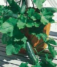1,000 Spacemaster 80 Cucumber Seeds 60 days BULK SEEDS