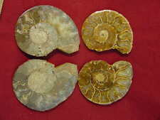 Butw gorgeous ammonite lapidary fossil 4425A