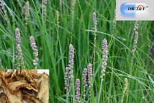 Dr T&t 100g hierba seca Anemarrhena rizoma (Zhi Mu)