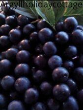 FRESH Lincoln Sloe Berries 1lb £10.25  2LB £13 3LB £21 4lb £24.75  Labels/Recipe