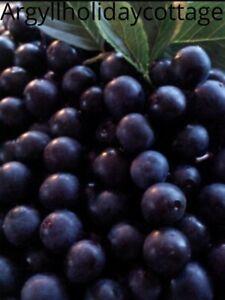 Lincolnshire Sloe Berries free labels & recipe 1lb £10.75 2LB £14 4lb £26