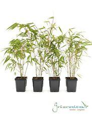 4 x Fargesia rufa 30/40, winterharter Bambus, ideal für Hecken, keine Ausläufer