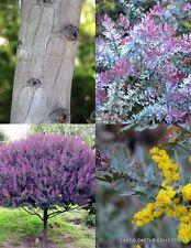 Acacia Baileyana Purpurea cootamundra rare flowering wattle tree purple 30 seeds