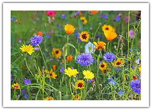 Wildflowers Meadow Nature Wildlife - Greetings Card Birthday / Blank Notelet