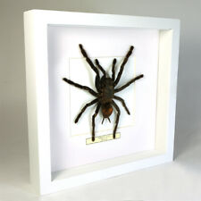 Real taxidermy insect mounted in white wooden frame - Tarantula spider
