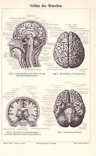 Gehirn des Menschen Neurologie  Anatomie Großhirn Holzstich um 1900