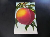 Peach Large Fruit Postcard 1910s Mitchell Vintage Original California CA Unused
