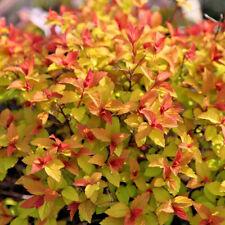 Spiraea japonica 'Firelight' Large PLUG PLANT hardy shrub
