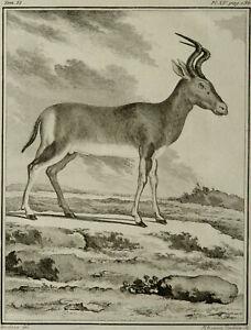 1771 Antique Buffon copper engraving EXTINCT ANIMAL: BUBAL Hartebeest Antelope.