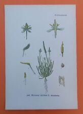 Petite queue de souris (myosurus minimis) Thome Lithographie 1890