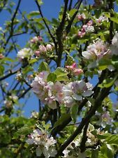 5 Crab Apple Trees  2-3ft Native Malus Hedging,Make your own Cider & Jelly