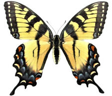 ONE REAL BUTTERFLY YELLOW TIGER SWALLOWTAIL FEMALE PAPILIO GLAUCUS WINGS CLOSED