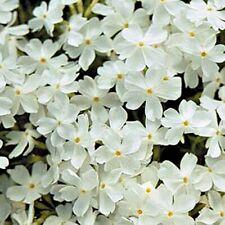 Snowflake Creeping Phlox 6 Plants in 3-1/2 inch Pots