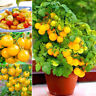 130PCS Cherry Tomato Yellow Ole Fruit Seeds Balcony plant Garden Greenhouse
