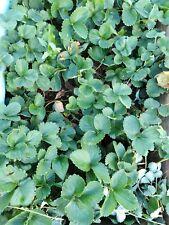 FRAGOLA piante Cambridge preferita Bare radicato Qualità Superiore