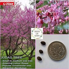 8 EASTERN REDBUD SEEDS(Cercis siliquastrum);Bright pink flowers, Eastern redbud