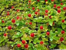 INDIAN STRAWBERRY RARE SPECIES FANTASTIC EVERGREEN GROUND COVER 40 SEEDS