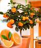 20 PCS Seeds Edible Dwarf Orange Tree Garden Fruit Mandarin Flores Bonsai Citrus