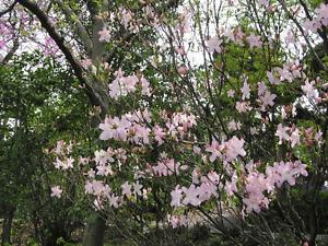 Royal Azalea, Rhododendron schlippenbachii, Seeds (Showy, Fragrant, Fall Color)