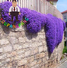 100 Pcs Seeds Aubrieta Plants Rock Cress Cascade Purple Flowers Bonsai Perennial