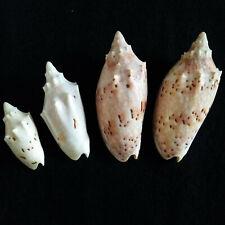 4 Voluta: 2 woolacottae (42 & 61mm) & 2 pulchra (75mm), poss. v. flindsersi