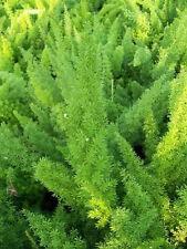 50 ASPARAGUS FERN SPRENGERII SEEDS PLANT
