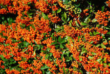 10 Pyracantha 'Orange Glow' Plants / Firethorn 'Orange Glow' 15-20cm Tall