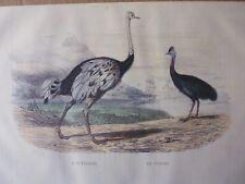 Gravure couleur 19°BUFFON oiseaux:    L'AUTRUCHE...LE CASOAR