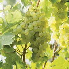Large White Green Grape Vine Lakemont Seedless Soft Fruit Climbing Plant 3L