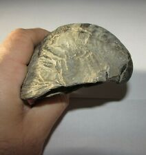 More details for @huge@ 4.3 inch 11cm fossil gryphaea devils toenail jurassic - cretaceous oyster