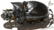 Heliocopris hamadryas,Male 50mm, from Tanzania, UNMOUNTED,