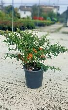 Pyracantha Navaho - Agazzino Nano - Grateus vaso 17 (OFFERTA 25 piante)