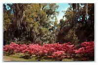 Postcard Azaleas and Oaks, Florida FL 1966 A38