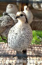 50 Snowflake Quail hatching eggs